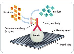 IMMUNOBLOT (Western Blotting – Immunoblotting) | Diagnóstico ...